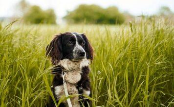 dlaczego pies je trawę